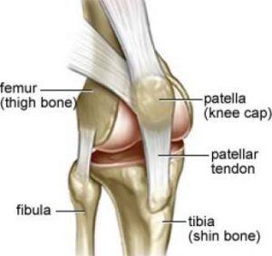knee ligaments and patellar tendon associated with knee tendonitis